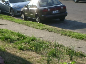 Wild chives in a neighbors front yard.  Be careful where you pick, there might be chemicals used.