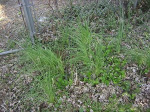 Wild chives growing near the cherry tree in my back yard